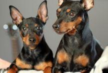 Hunde jeg gerne vil ejer