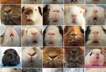 Those Precious Guinea Pigs / by Jane Kelley