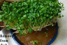 Sprouting / kliceni