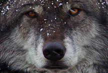 i miei lupi