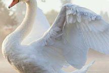 cisnes blancocisnes