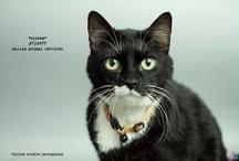 DAS Adoptable Cats by Slyvia Elzafon / by DallasAnimalServices