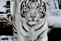 Tijger wit