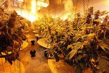 Marijuana Growing from Around the World / See how fellow growers do it right from around the world.