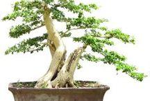 Bonsai Impor / Semua tanaman dalam board ini bisa dikirim keseluruh Indonesia, silahkan order ya, tel: 0341-599399 I SMS center: 08569020300 atau kunjungi website kami www.kebunbibit.id