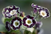 Little Gems / Varieties of Primula auricula