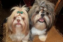 Shihtzus / my love for these babies / by *Connie* Ross
