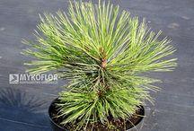 Pinus jeffreyi Joppi - Sosna Jeffreya Joppi
