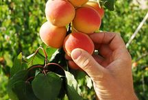 Raccolta Pomodorino del Piennolo e Albicocca Vesuviana(Tomato Piennolo and Vesuvius Apricot Harvest) / If you desire to know each other and also with YOUR HANDS harvest our products and Take them home and live the healthy experience of the Countryside ................. Well We DO NOT WAIT FOR OTHER .. MANY COME ....  INFO: info@saporivesuviani.it / +39335310786