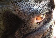 Pug Close Up / Pug close up Profiles