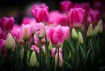 Тюльпаны / Яркие и разноцветные тюльпаны
