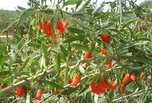 Goji berry plants / Goji berry plants for sale in Europe