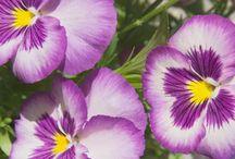 Árvácska / Kerti árvácska (Viola × wittrockiana) az ibolyafélék (Violaceae) családjába és az ibolya (Viola) nemzetségbe tartozó háromszínű árvácska (Viola tricolor) és más ibolyafajok keresztezésével létrehozott kertészeti hibrid növényfaj.