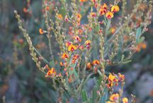 Wildflowers Western Australia