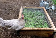 Grow my chickens