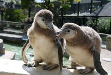 Penguins at Paradise Park in Cornwall / Here is a selection of photos of our lovely Humboldt's Penguin colony. Do come and meet them in person at the Park :)