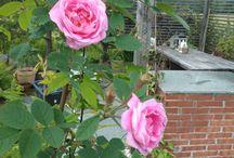 Oma puutarha / Kuvia omasta puutarhasta