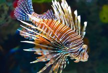fishes - Lion Fish