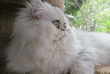 Beautiful Persian Cats / Cats from persia