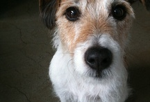 Zephyr / Our Zephyr is a Parson's Jack Russell and one great entertainer. Having lived, worked and played with us 24/7 he's one switched and very funny character. Oh and he's no gentle breeze, more rather a hurricane. True you should get to know your pets before you name them.