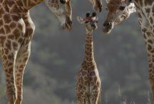 safari animals...my favorite / by Heather Jimenez