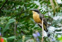 Wild Birds of Bequia - a nature lover's dream location! / Wildlife in Bequia is fantastic! Not only the marine life, but the wild birds of Bequia too.