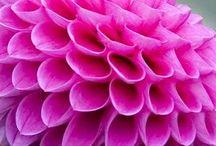 BLOMSTER - Rosa blomster