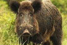 Despiece del Jabalí Salvaje / Toda nuestra carne de Jabalí proviene de la caza, de animales salvajes, y no de animales alimentados en granja. Es de primera calidad, natural y libre de añadidos. Se distingue por ser ligera, muy sabrosa, magra, baja en colesterol y una buena fuente de proteína.