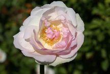 J A R D I N • Rose Garden