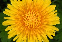 Dandelions = Wishes