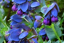 blue  honeywort