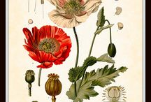 Botanicals / Wonderful drawings and paintings of plants. The scientific illustrations of plant and animal life.