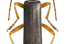 cantharidae