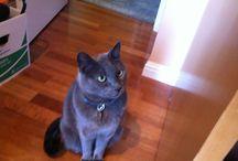 My Russian Blue Cats / Meet Boris and Natasha, our fur-babies.
