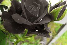 černé květy