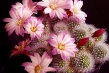 cactus rosado