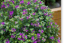 Plants for garden / Flowers, greenery, shrubs.... / by Donna Davison