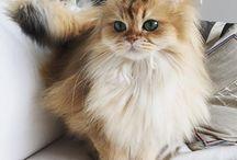 Britishe Langhaar Katze