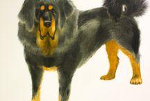 Terrific Tibetan Mastiff