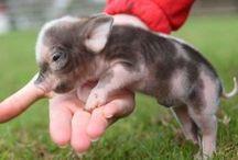 Mini Pigs & Goats