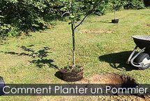 Pommier - Comment Planter un Pommier / Guide de plantation d'un pommier au jardin. Étapes détaillées avec photos.