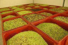 olives, olive trees, olive wood and olive oil