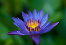 blue lotus / the blue lotus signifies purity, potential and resurrection.  It's opening petals suggest the expansion of the soul and the growth of pure beauty from within.  / by Jennifer Yen