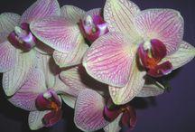 Orchideen / Meine Orchideen