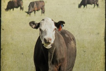 MOOOO.... / COWS= Love / by Abby Endres