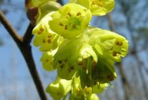 Gardening Fragrant, Winter-blooming / Fragrant