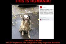 Romanian HELL / This is Romania  http://dashalovinganimals.blogspot.ro/2011/04/stray-dog-business-in-romania.html  http://romanianstraydogsploiesti.blogspot.ro/p/bucov-pound-in-images.html  http://xnici.wordpress.com/2013/10/05/il-masacro-dei-cani-e-iniziato-a-mihailesti-romaniaslaughter-has-begun-in-romania-english-below-italian/  http://xnici.wordpress.com/2013/10/04/horror-dogs-catcher-of-romania/  http://xnici.wordpress.com/2013/09/22/the-neglected-children-of-romania/