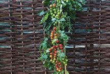 Amazing Pomato/Tomato Plant