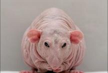 Крысята сфинкс дамбо на продажу / Little hairless rats for sale