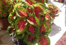 Coleus March 2015 / Wide variety of Coleus available at the nursery